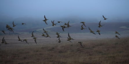 Golden plovers fly low in the mist.