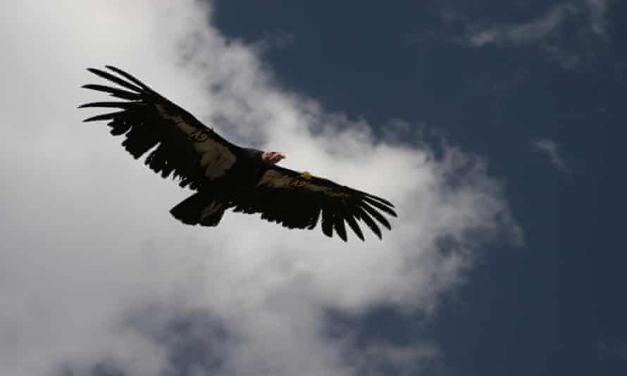 Condors are scavengers; an essential part of nature's clean-up crew.