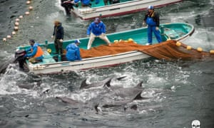 Annual dolphin hunt in Taiji, Japan.