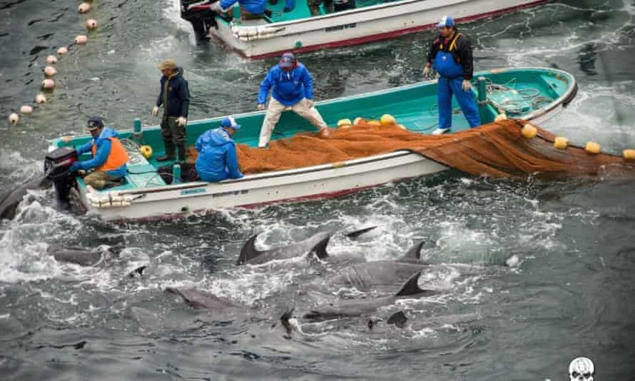Annual dolphin hunt in Taiji, Japan.