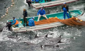 The annual dolphin hunt in Taiji, Japan.