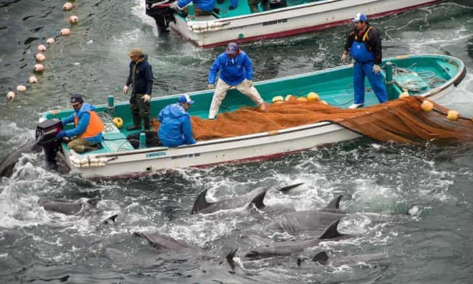 The annual dolphin hunt in Taiji, Japan.