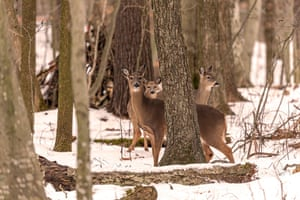 The white-tailed deer also known as the whitetail or Virginia deer in Wisconsin, US