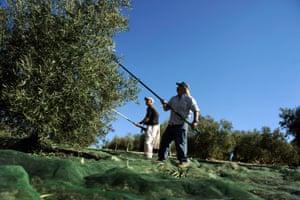 Workers harvest olives near Córdoba in Spain.
