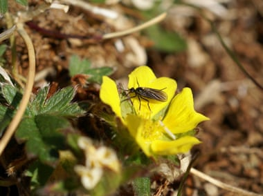 Pollination in Svalbard, Norway. In some parts of the Arctic, important pollinating fly numbers declined by 80% between 1996 and 2014. Photograph: Stephen Coulson, SLU/via Caff