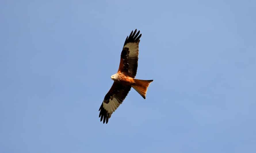 A red kite, having presumably spotted a baked camembert.