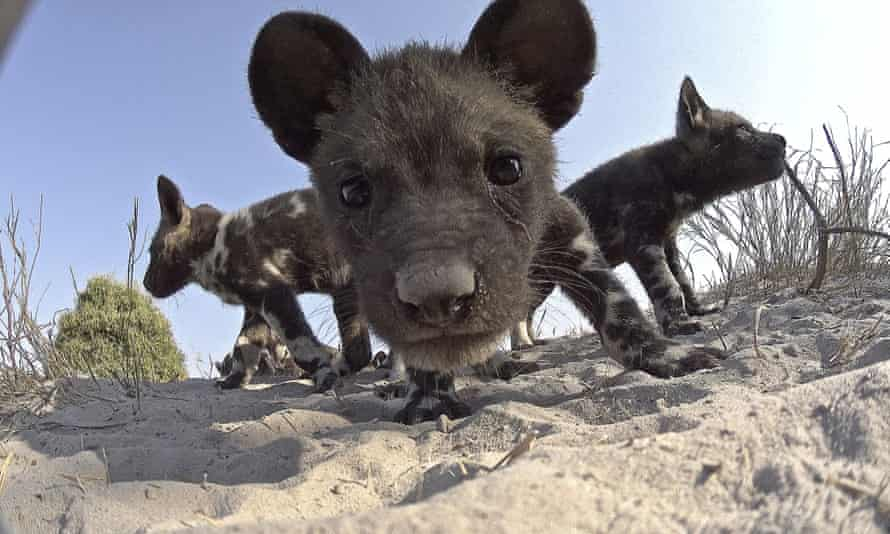 'Truly remarkable insights': a wild dog pup gets up close to his animatronic playmate in Spy in the Wild.