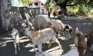 Goats in Kazda, Edremit, Turkey.