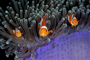 """Behaviour category – winner. Your Home and My Home by Qing Lin (Canada). Clownfish must be among the most photographed of all sea creatures. But looking closer, Lin noticed parasitic isopods in the mouths of these little fish. The judge appreciated the whole scene: """"Six eyes all in pin-sharp focus, looking into the lens of the author ... this was one of my favourite shots of the entire competition."""""""