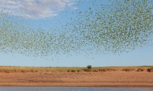 Budgies photographed in the desert near Alice Springs in Central Australia on Friday 4 October 2017