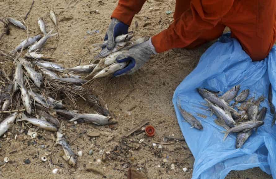 A local fisherman working for a company contracted by Samarco mine operator clears up dead fish found on the beach of Povoacao Village.