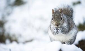 One of Britain 3.5m grey squirrels