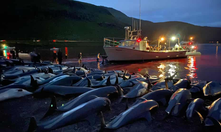 Carcasses of white-sided dolphins lie on a beach in the Faroe Islands this week.