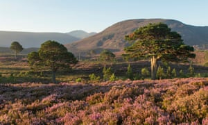 Scots pines and flowering heather moorland in the Cairngorms national park.
