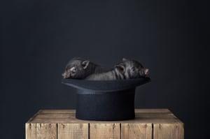 Two Vietnamese miniature pigs inside a hat.