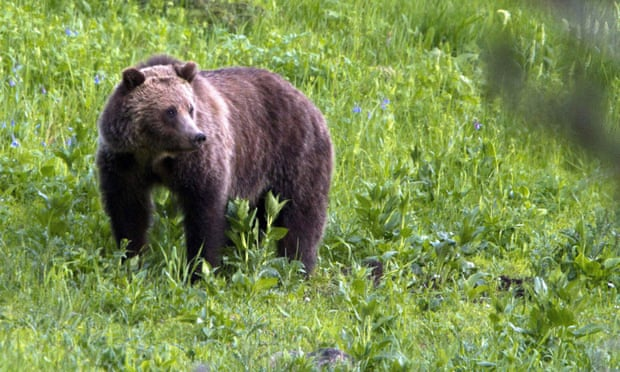 Montana guide mauled to death in grizzly bear attack outside Yellowstone