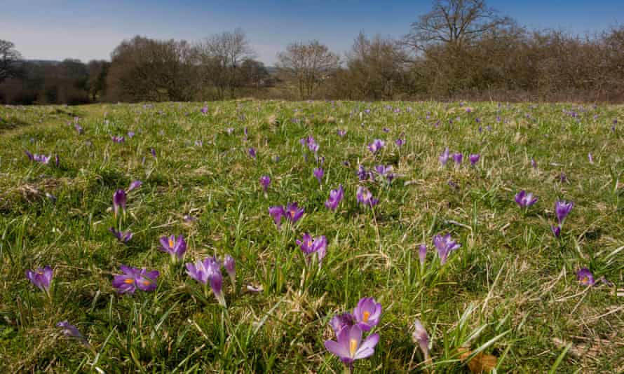 Crocuses in Inkpen Crocus Field SSSI, Berkshire, UK.