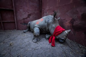 Environment – singles, first prize. A young southern white rhinoceros is drugged and blindfolded before being released into the wild in the Okavango delta, Botswana. The animal had been relocated from South Africa for protection from poachers