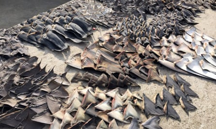 Scientists can genetically analyze shark fins to determine whether they were illegally obtained