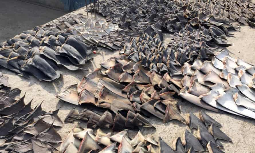 Hundreds of shark fins seized by the police in Manta, Ecuador.