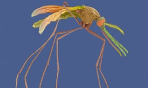 Scanning electron micrograph of a female Anopheles mosquito, a known malaria carrier.