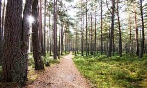 Pine trees in the Abernethy Forest which runs around Loch Garten in the Cairngorms National Park