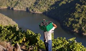 Taste the sunshine: harvesting grapes in Galicia.