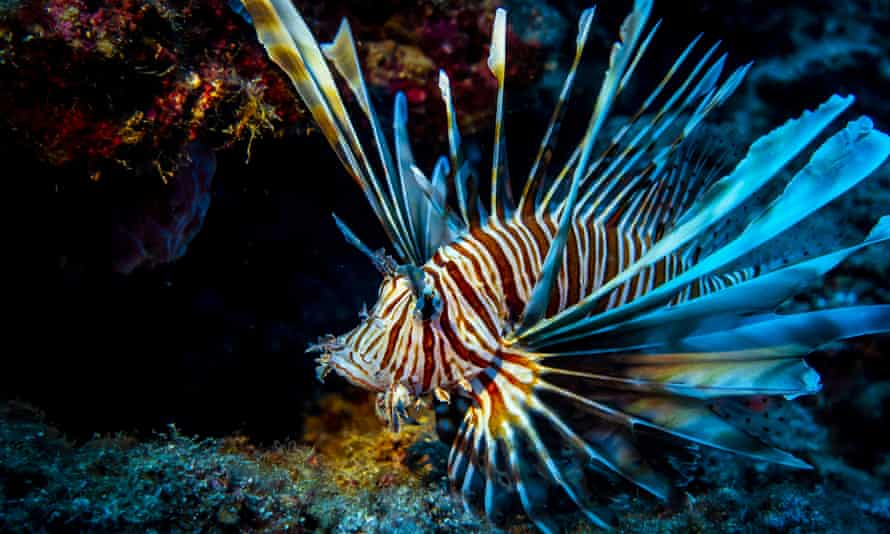 A lionfish seen in deep water.