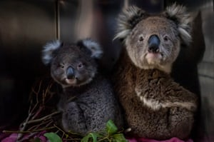 A four-year-old female koala and its one-year-old offspring sit in their enclosure at the mobile wildlife triage centre at Bairnsdale.