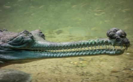 Gharials have a distinctive snout tipped with a bulbous mass.