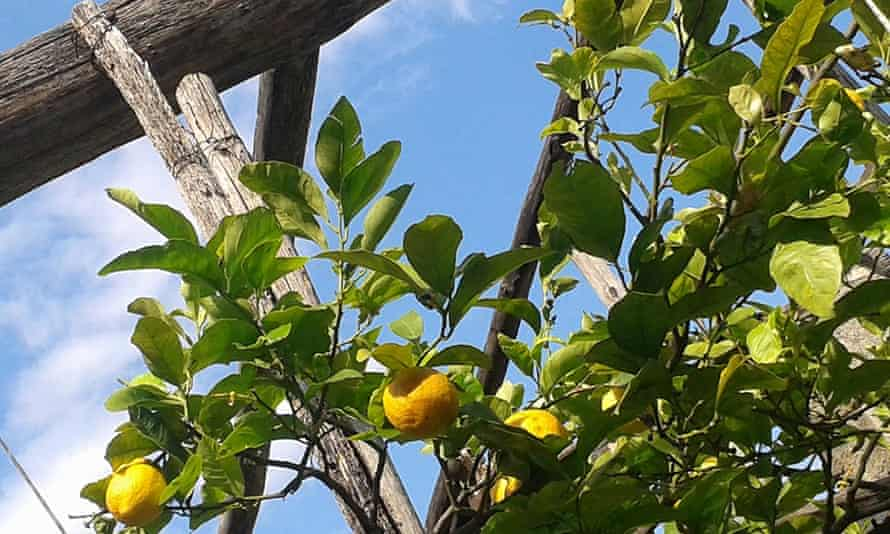The lemons are grown inside a wood and stone framework that is covered with glass in winter.