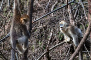 Golden monkeys play in the forest of Shennongjia, in central China's Hubei province