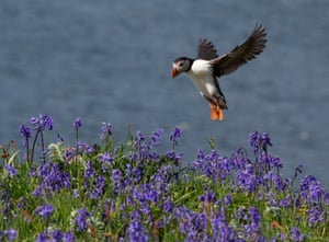puffin coming in to land on a bluebell-covered clifftop