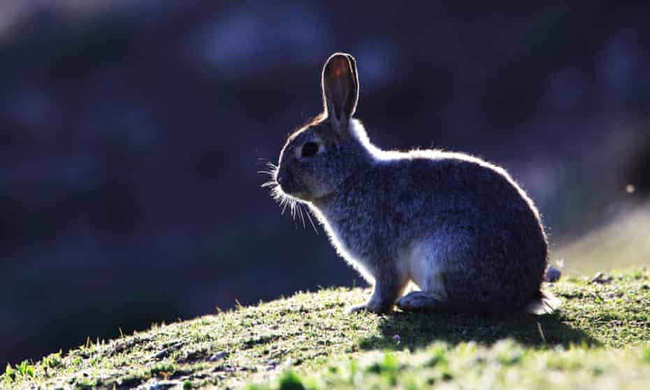Rabbit hemorrhagic disease has a mortality rate of up to 70%.