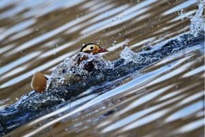 An endangered Mandarin duck in Russia's Primorye Territory