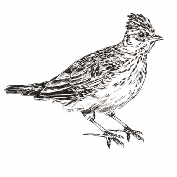 Katie Marland's illustration of the Skylark, from Birdsong in a Time of Silence.