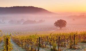 Mist over autumn grape vines at Denbies Wine Estate.