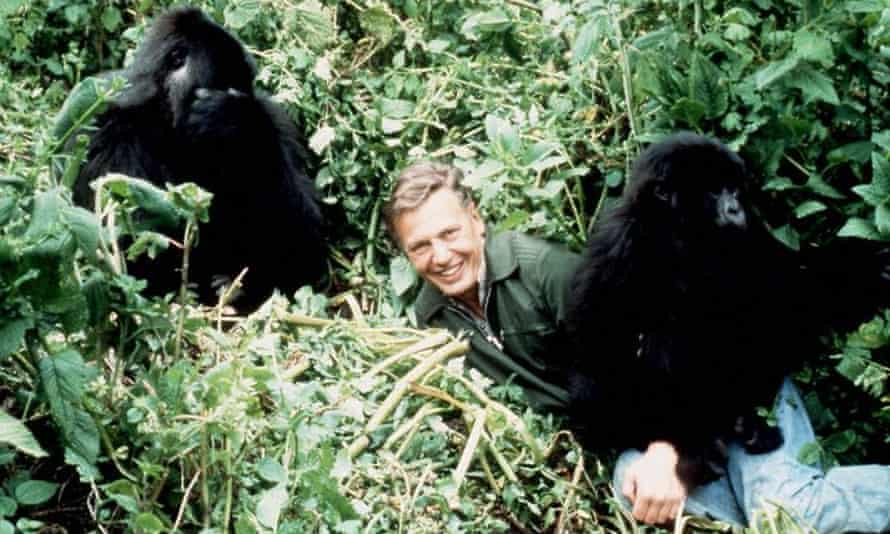 David Attenborough with mountain gorillas in Life on Earth from 1978.