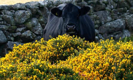 Gorse & heather in full flower on Dartmoor in South west England, many granite walls have been built in moorland ancient times. Image shot 2015. Exact date unknown.Country Diary archive : Gorse & heather in full flower on Dartmoor in South west England, many granite walls have been built in moorland ancient times. Image shot 2015. Exact date unknown.