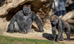 Gorillas at the zoo in San Diego, USA
