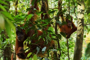 Sumatran orangutans captured enjoying their day on the trees of Gunung Leuser national park in North Sumatra, Indonesia
