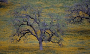 Oak trees at dusk near in California. The state has seen more than 66 million trees killed in the Sierra Nevada alone since 2010.