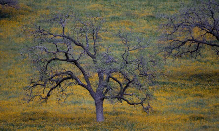 Oak trees at dusk near in California. The state has seen more than 66m trees killed in the Sierra Nevada alone since 2010.