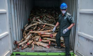 A worker from the Department of Wildlife and National Parks with seized African elephant tusks in Port Dickson, Malaysia.