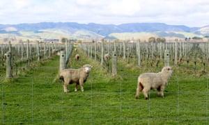 Sheep graze in a vineyard in Marlborough, New Zealand's biggest wine region