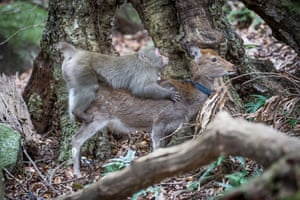 A snow monkey attempts to have sex with a sika deer in Yakushima, Japan