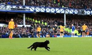 Goodison's cat