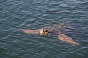 A turtle swims in the Dalyan river