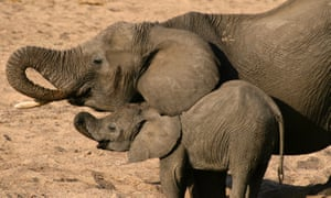 Elephant and calf in Selous national park, Tanzania