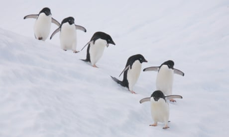 150,000 penguins die after giant iceberg renders colony landlocked